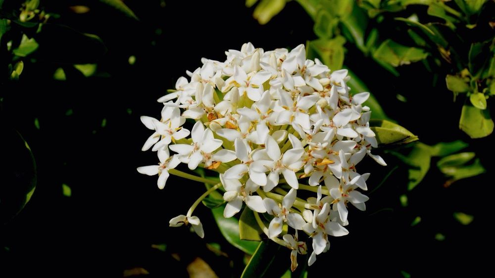 Flower Petal Nature White Color Growth Plant Fragility Beauty In Nature Freshness Flower Head Outdoors No People Close-up Day White Flower Sanamluang Bangkok Thailand Spike Flower Beauty In Nature Freshness Blackground Wallpaper