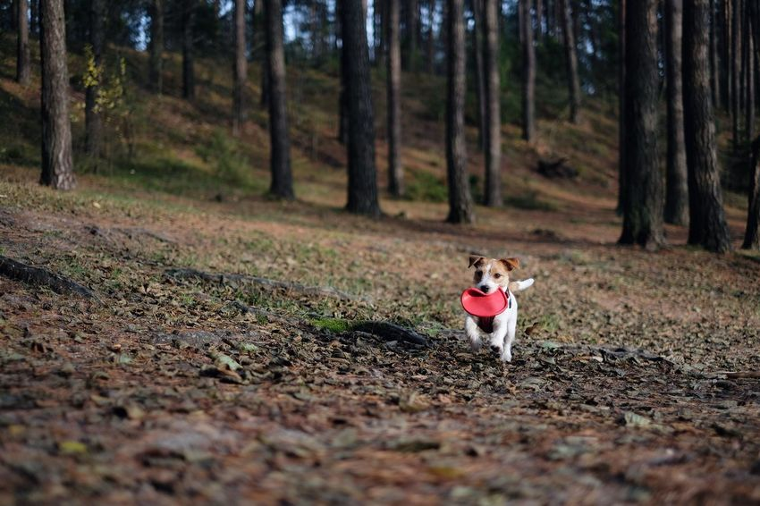 Jack Russell terrier running with a frisbee in the forest. Dog Pets One Animal Domestic Animals Tree Animal Themes Outdoors Looking At Camera Nature No People Portrait Day Mammal Tree Autumn Colors Jack Russell Running Dog Jackrussellterrier Jack Russell Terrier Dog Outside Jrt Frisbee Dog Frisbee Nature