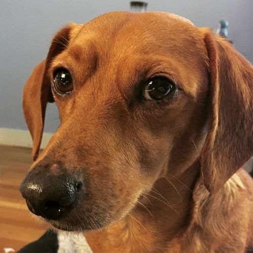 One Animal Pets Dog Domestic Animals Looking At Camera Portrait Close-up Animal Themes Mammal No People Indoors  Day Dachshund Dogslife Boop Snoot EyeEm New Here Eyes Nose Sad Eyes