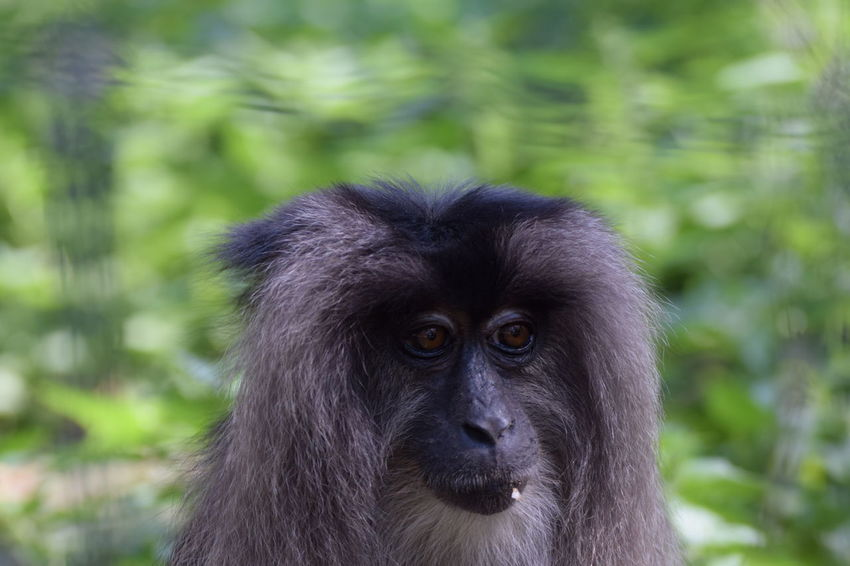 Lion-tailed macaque (Macaca silenus) EyeEmNewHere EyeEm Best Shots Lion-tailed Macaque Macaca Silenus Animal Animal Head  Animal Themes Animal Wildlife Animals In The Wild Ape Day Focus On Foreground Land Mammal Monkey Nature No People One Animal Outdoors Portrait Primate Rainforest Vertebrate