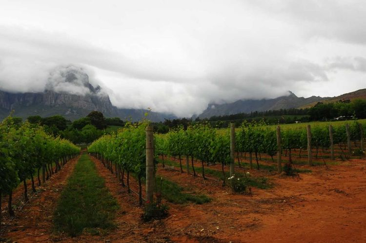 Agriculture Boschendal Cape Town Earth Nature Outdoors South Africa Tranquility Tree Trees Vine Vineyard White Wine Wine Tasting
