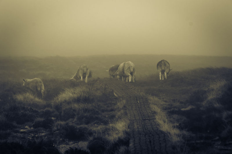 Sheep grazing on field during foggy weather