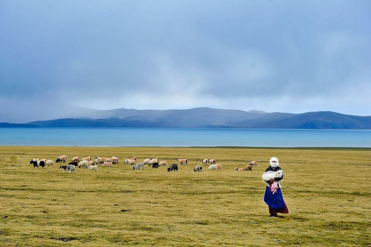 Woman Carrying Sheep On Field With Cattle And Lake In Background