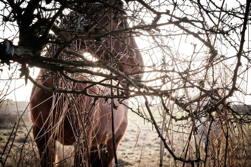 Horse through Bush Tree Branch Nature Bare Tree Beauty In Nature Outdoors Day No People Scenics Sky Mammal Horse Horses Horse Photography  Horse In Field Horse Through Bush Equine Equine Photography Mane Horse Life