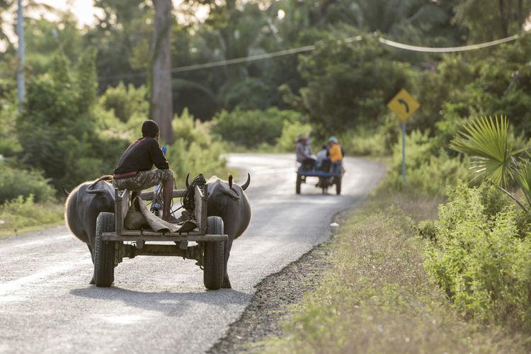 Man sitting on bull cart over road