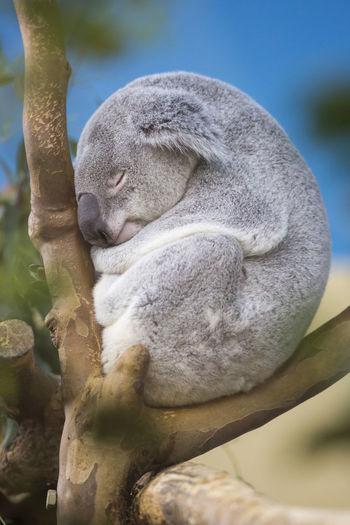 Close-up of koala bear sleeping on tree