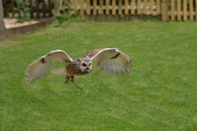 Birds Of EyeEm  Nature Photography Bird Photography No Filter, No Edit, Just Photography Outdoor Photography Owl Owl In Flight. Birds In Flight Birds Of Prey Capturing Movement Falconry Display Wings