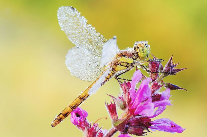 Flower Insect Colored Background Nature Beauty In Nature Orchid One Animal Close-up Animal Wildlife No People Flower Head Fragility Animal Themes Perching Day Outdoors Dragonfly Drops Dewdrops Dew Drops Dew