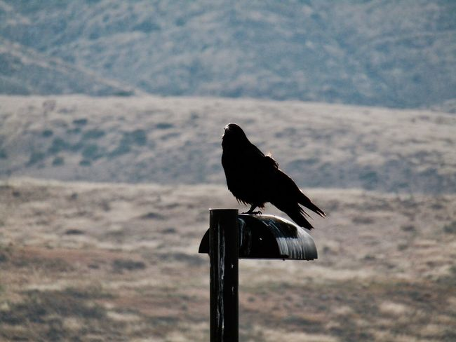 Crow Chula Vista, CA Nature No People Bird Bird Photography Zoom In Zoom Mountain Light Pole