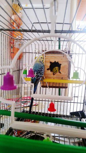 Cocorita Pappagallini Cova Bimbi I Love Animals