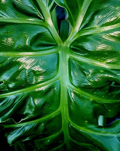 Giant Leaf Green Color Leaf Plant Nature Close-up Freshness Beauty In Nature Tree Day Science Outdoors Backgrounds Eyeem Leaves The Week On EyeEm Background Beautiful Giant Perspectives On Nature