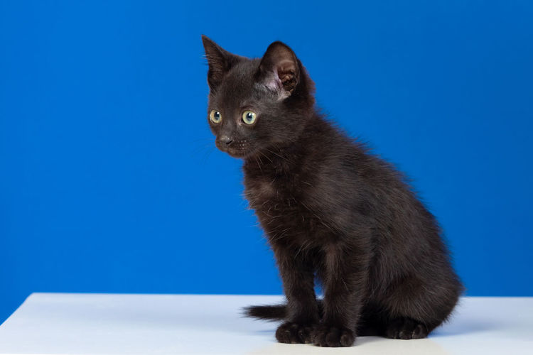 Black cat looking away against blue background