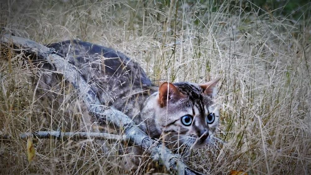 Animal Themes Bengal Cat Feline Grass Moreland Nature No People One Animal Outdoors Portrait