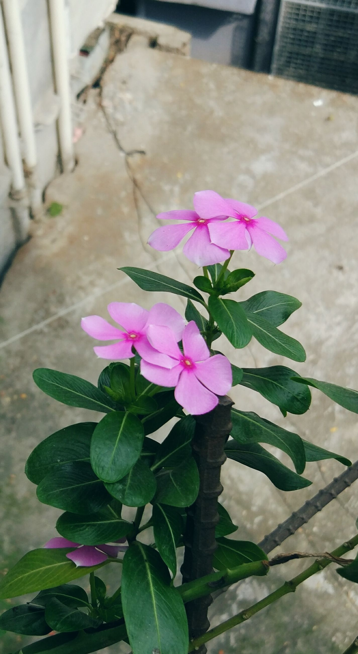 flower, fragility, freshness, nature, plant, leaf, petal, growth, beauty in nature, pink color, flower head, blooming, outdoors, no people, day, periwinkle, close-up