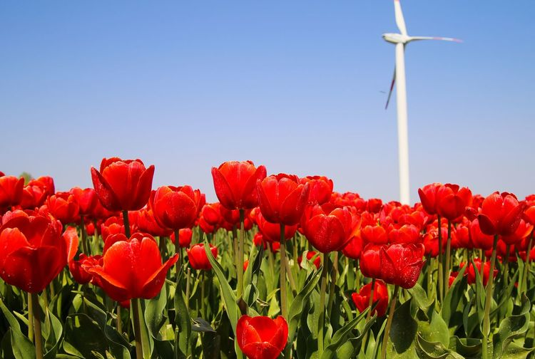 Red tulips in bloom against sky