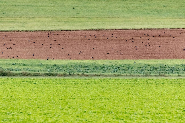 Crows Feast Agriculture Birds Cultivated Land Farm Farmland Field Full Frame Green Green Color Harvesting Multi Colored No People Outdoors Red Rural Scene Scenics Tranquil Scene Tranquility Vibrant Color
