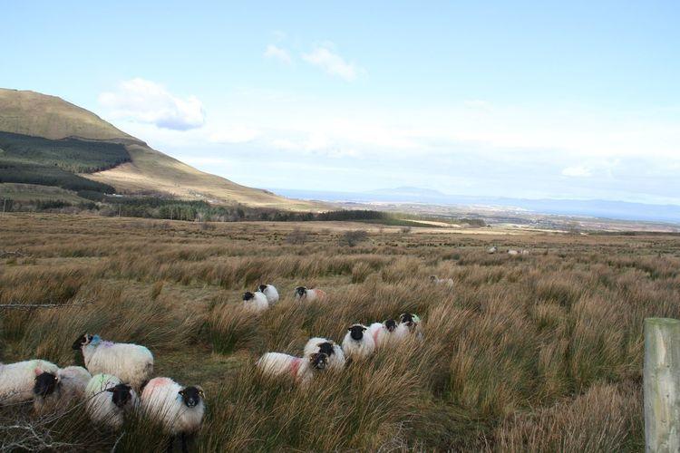 Watching, waiting, ruminating Animal Themes Being Watched Flock Of Sheep Gleniff Horseshoe Herd Mountain Pasture Rainbow Sheep Safety In Numbers Sligowhoknew