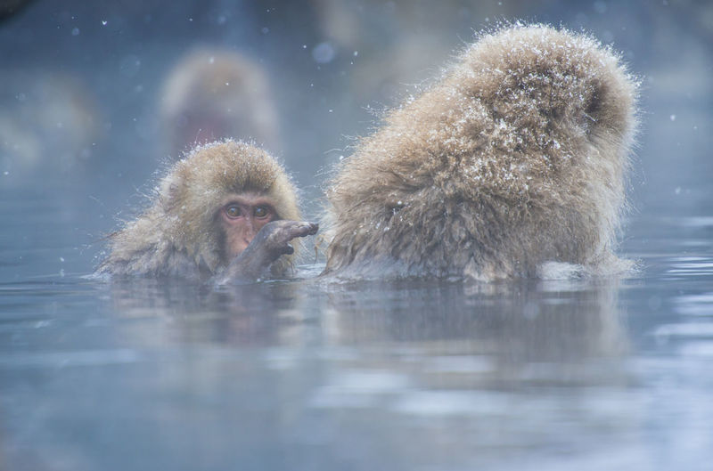 Snow monkey in a hot spring, Nagano, Japan. Animal Themes Animal Wildlife Animals In The Wild Cold Temperature Day Hot Spring Japanese Macaque Mammal Monkey Nature No People Outdoors Reflection Snow Two Animals Water Winter Young Animal