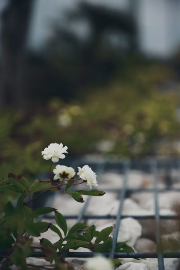 Roses Flowers Flowers,Plants & Garden Plant Plant Life Outdoors Garden Beauty In Nature Beauty Beautiful Fence Abundance Abundance Of Flowers Flower Flowering Plant Growth Freshness Fragility No People Selective Focus Vulnerability  Close-up Nature Day