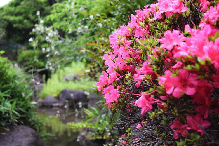 Pink azalea in