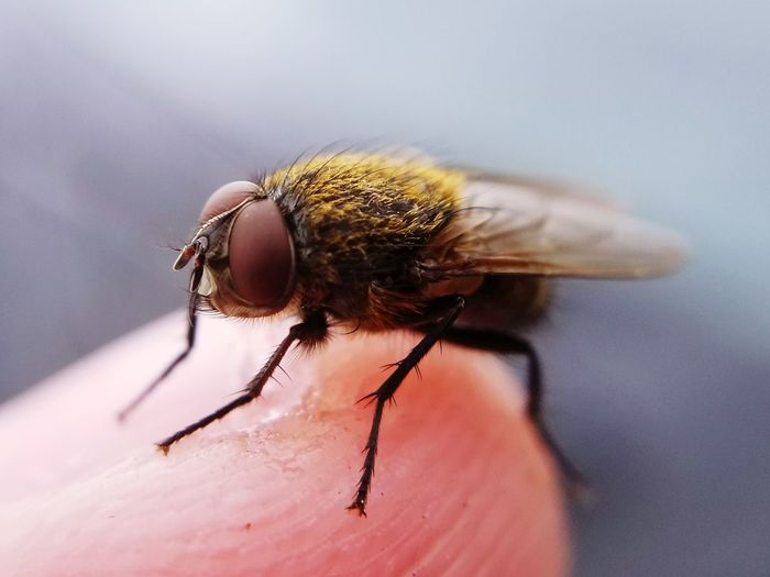 Cluster fly on finger