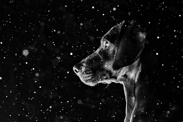 Nightly Guardian Dogs Guardian Dogs Silhouette Night Low Light Low Light Photography Low Key Low Key Photography Nightphotography Black Dog Snow Snow ❄ Snowing Black Dog Portrait Black Background