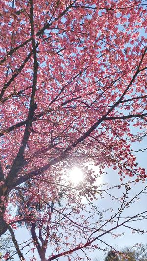 Cerejeiras Cerejeiras Em Flor Flowers Springtime Winter Trees Nature Nature_collection Taking Photos Enjoying Life Sunlight Light Sunny Day Pink