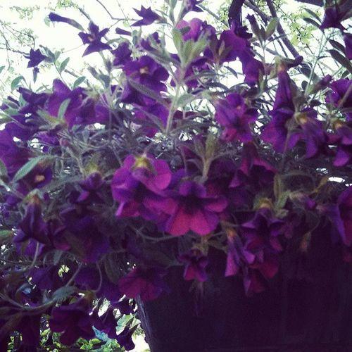 my pretty purple flowers. :-) Hangingbasket