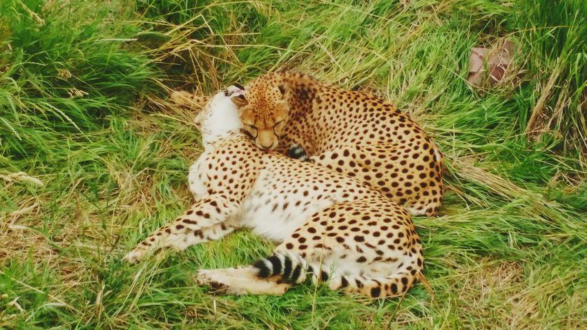 Spotted Cheetah Animal Themes Feline No People Grass Outdoors BigCatLover Bigcatphotography Bigcats Lounging Cat Animal Photography Animal_collection Denver Zoo Animal Wildlife Nature Cheetah Colorado Mammal Kisses