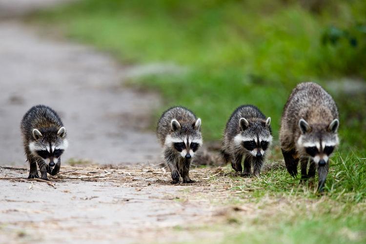 Raccoons walking on land