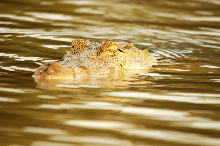 Kenya Lake Baringo Animal Animal Body Part Animal Head  Animal Themes Animal Wildlife Animals In The Wild Crocodile Day Nature One Animal Reflection Reptile Swimming