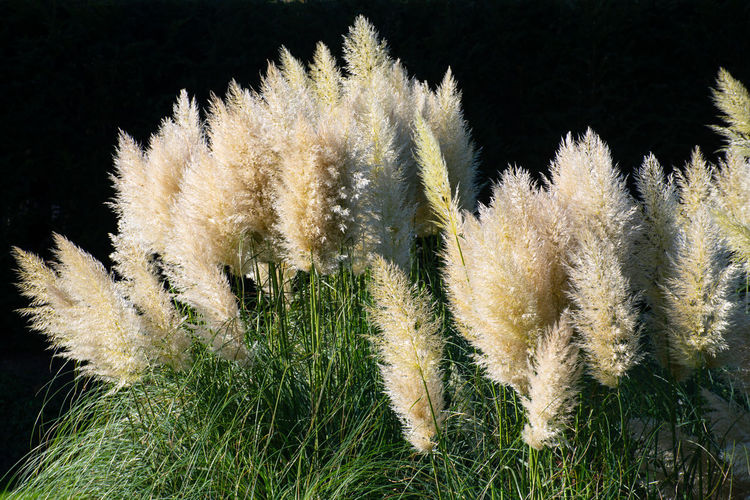 Large Clump of Ornamental Grass Plant Growth Grass Nature Beauty In Nature Cortaderia Ornamental Ornamental Grasses Close-up Soft Fragility Tranquility Outdoors