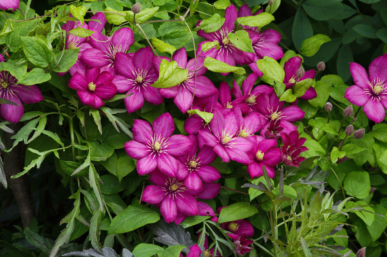 High Angle View Of Pink Flowers Blooming Outdoors