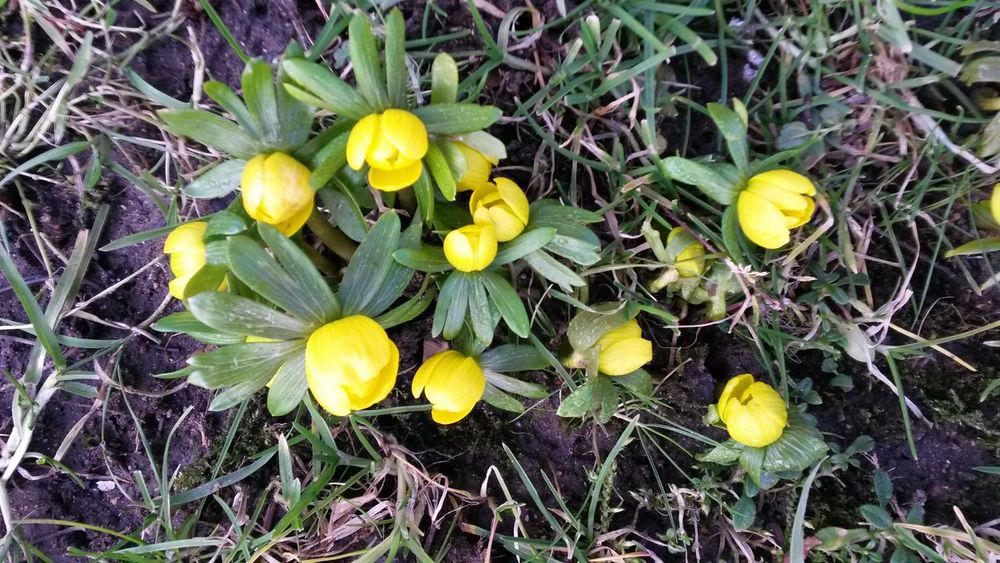 Winter Aconite Eranthis Hyemalis Eranthis Forest Floor Winter Denmark Sorø Countryside Danish Yellow Flower Freshness Growth Outdoors High Angle View Nature Beauty In Nature Green Color Day Fragility No People Plant Flower Head Close-up