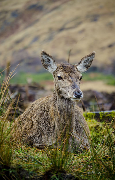 Glen Etive, Scotland Animal Head  Animal Markings Animal Themes Animal Wildlife Beauty In Nature Close-up Deer Etive Explore Field Focus On Foreground Glen Etive Grass Grassy Hind Nature No People Outdoors Schottland Scotland Selective Focus Travel Traveling Wanderlust Wildlife