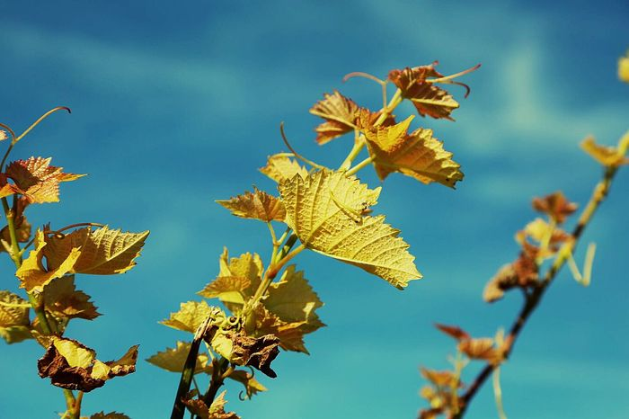 EyeEm Nature Lover Vineyard Vineyards  Winefields Wine Leafs Blue Sky Nature Nature_collection Taking Pictures