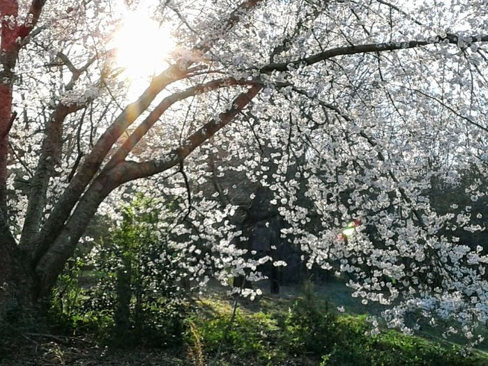 100 yr. old cherry tree in full bloom!! Sunsetting Behind A 100 Yr.old Cherry Tree In Bloom Cherry Tree In Bloom In Foothills Of North Carolina Tree Nature Branch Growth Beauty In Nature Day No People Freshness Low Angle View Springtime Scenics Fragility Flower Sky Tranquility Outdoors