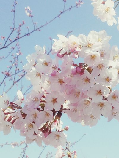 Hello World Cheeryblossom EyeEmbestshots EyeEm Nature Lover Pink Flower Sakura EyeEmBestPics さくら