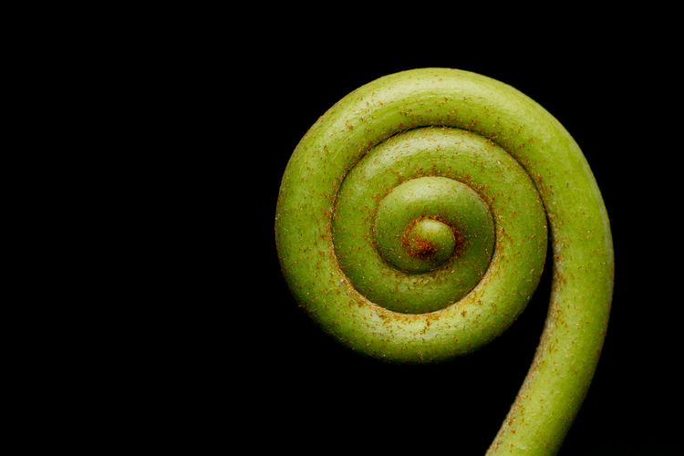 Spiral Eos 70d Black Background Close-up Espiral Flora Green Color Helecho Macro Nature Spiral First Eyeem Photo