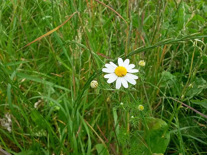found a daisy in the grass)) Nature Flower