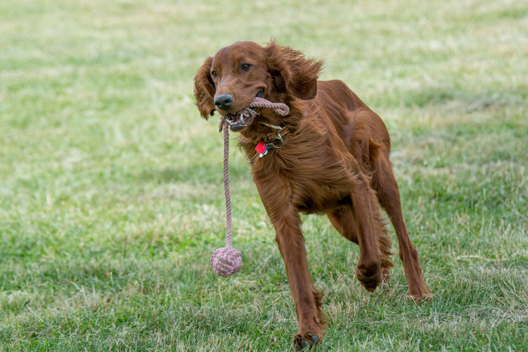 Irish setter carrying rope in mouth while walking on field