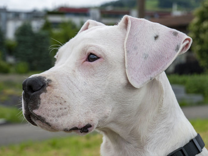 Dogo Argentino Puppy Dogs Animal Animal Body Part Animal Head  Animal Nose Animal Themes Canine Close-up Day Dog Dogo Dogo Argentino Dogoargentino Domestic Domestic Animals Focus On Foreground Looking Looking Away Mammal No People One Animal Pets Profile View White White Color