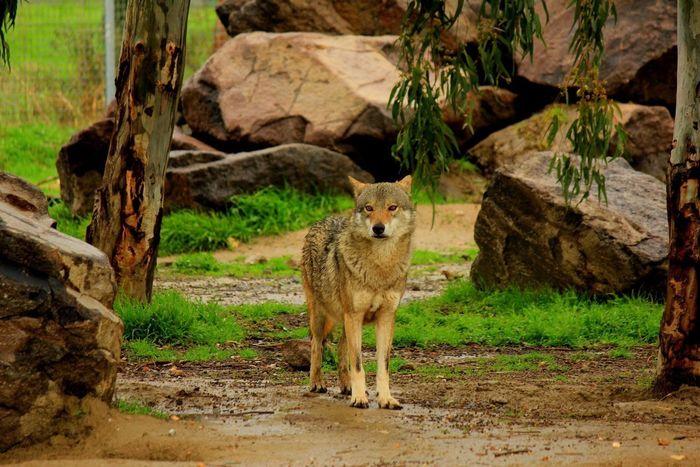 Wolf Nature