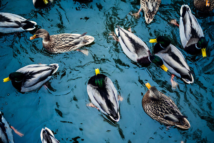 Directly above shot of mallard ducks swimming on lake at forest