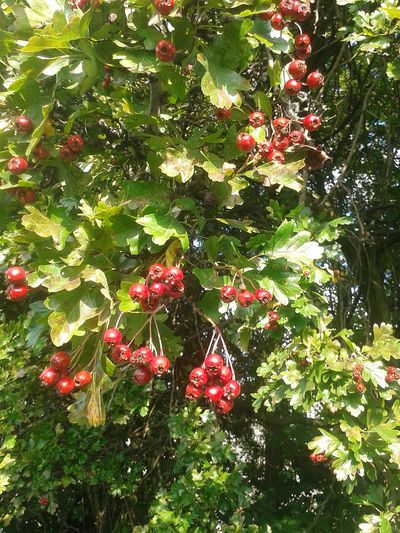 Autumn Hawthorn Redberries Red And Green NaturalBeauty Nature SeptemberPhotoChallenge Sunshine Hello World Check This Out