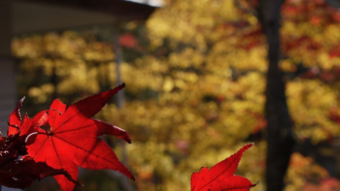 Autumn Beauty In Nature Botany Change Close-up Day Focus On Foreground Fragility Leaf Leaves Maple Leaf Natural Condition Nature No People Orange Color Red Red Color Scenics Season  Springtime Tranquil Scene Tranquility Vibrant Color