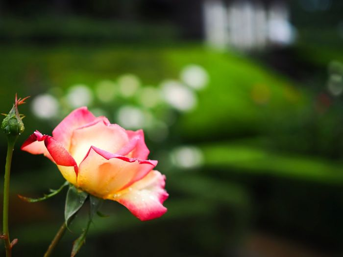 自分の過去の投稿写真を振り返っていて気付いたのですが、いつのまにかEye-Emを始めて8ヶ月経ってました。ホントは半年位の所で書くことなんだと思いますが、沢山の閃きをくださる全ての写真家に感謝致します。 Rosé Rose - Flower Rose🌹 Flower Petal Fragility Flower Head Plant Pink Color No People Close-up Focus On Foreground Freshness Outdoors Rose Garden Olympus OM-D E-M5 Mk.II 相互フォローはしない、いいねは極めて直感的、コメントは面倒臭いので基本的につけない、こんな至らない私にお付き合いくださって有難うございます🙇