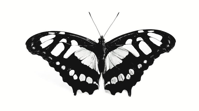 Black Nd White Blackandwhite Butterfly - Insect Butterfly Ink No People