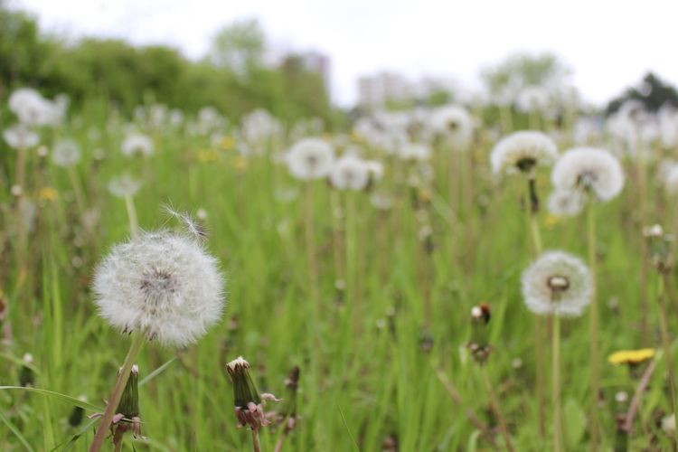 Beauty In Nature Botany Close-up Dandelion Day Delicate Field Flower Flower Head Focus On Foreground Fragility Freshness Grass Growth Nature No People Outdoors Plant Poppy Seed Softness Tranquility Uncultivated White Color Wildflower