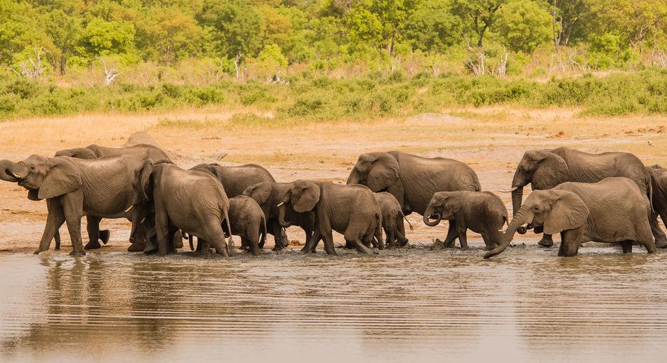 Elephants walking in lake at national park